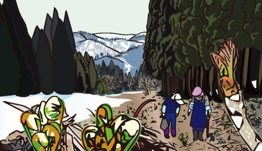 こごみ(クサソテツ)採りとたらの芽 ~ここにもあそこにも春の只見~