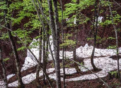 只見の春:残雪と新緑のブナの森
